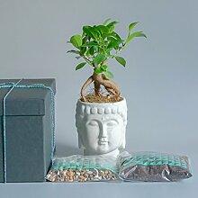Bonsai Baum Zen Garden Kit Ginseng Ficus Feige