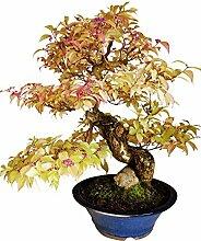 Bonsai Callicarpa japonica (Schönfrucht), ca. 25