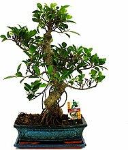 Bonsai Chinesischer Feigenbaum - Ficus retusa -