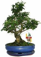Bonsai chinesischer Liguster - Ligustrum sinensis