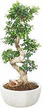 Bonsai Feige - Ficus Microcarpa Ginseng Fuji -