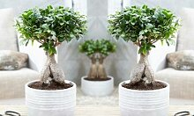 Bonsai Ficus Ginseng: mit dekorativem Topf/ 1