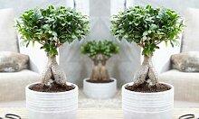 Bonsai Ficus Ginseng: ohne Topf/ 2