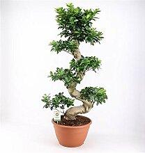 Bonsai Ficus microcarpa Ginseng 100 cm/S-Form