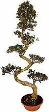Bonsai Ficus microcarpa Ginseng 200 cm Chinesische