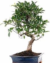 Bonsai - Ficus microcarpa (retusa), Chinesische
