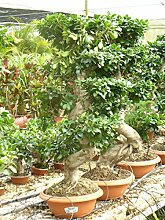 Bonsai/Ficus microcarpa