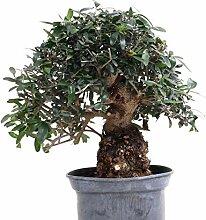 Bonsai - Olea europaea Sylvestris, Wild-Olive