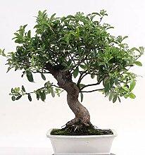 Bonsai - Pyracantha coccinea, Feuerdorn 197/116