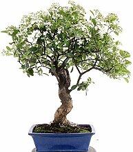 Bonsai - Pyracantha coccinea, Feuerdorn 197/119