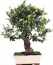 Bonsai - Pyracantha coccinea, Feuerdorn 197/127