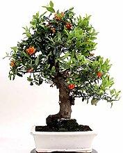 Bonsai - Pyracantha coccinea, Feuerdorn 200/161