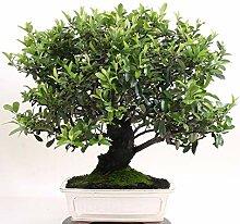 Bonsai - Pyracantha coccinea, Feuerdorn 200/164