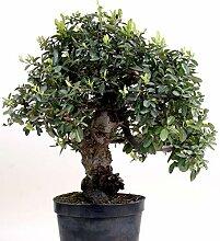 Bonsai - Pyracantha coccinea, Feuerdorn 200/165
