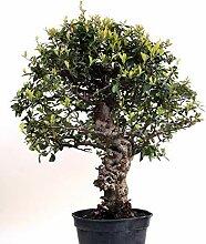 Bonsai - Pyracantha coccinea, Feuerdorn 200/166