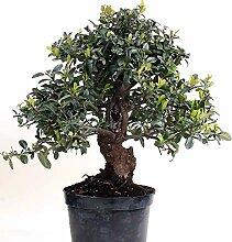 Bonsai - Pyracantha coccinea, Feuerdorn 200/167