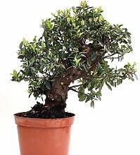 Bonsai - Pyracantha coccinea, Feuerdorn 200/168