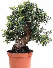 Bonsai - Pyracantha coccinea, Feuerdorn 200/169