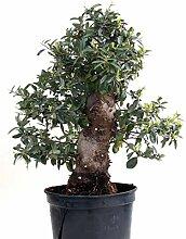 Bonsai - Pyracantha coccinea, Feuerdorn 200/170