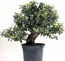 Bonsai - Pyracantha coccinea, Feuerdorn 200/171