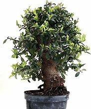 Bonsai - Pyracantha coccinea, Feuerdorn 200/172