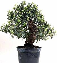 Bonsai - Pyracantha coccinea, Feuerdorn 200/173