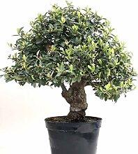 Bonsai - Pyracantha coccinea, Feuerdorn 200/174