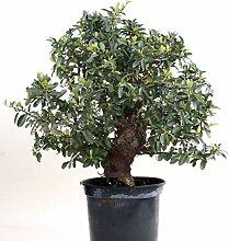 Bonsai - Pyracantha coccinea, Feuerdorn 200/175