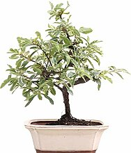 Bonsai - Pyracantha Mohave Silver, Feuerdorn