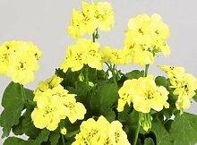 Bonsai Samen 50pcs Samen Japanische Kiefer Samen Bonsai Blume leicht DIY Hausgarten-Zubehör zu pflanzen