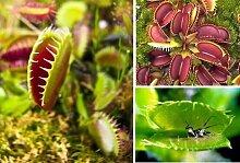 Bonsai Samen Venus Fliegenfalle Von Superb Riesen