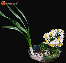 Bonsai Samen von Wasserpflanzen Doppel Petals Rosa