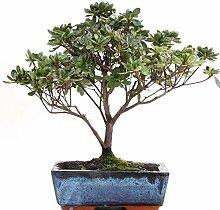 Bonsai - Satsuki Azalee, Rhododendron indicum