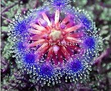 Bonsai Sundew Samen Blau Enchantress Fleischfressende Pflanze Tisch Topf Drosera Seekanne Samen Strahlung Schutz 10Samen