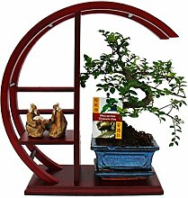 Bonsai - Ulmus parvifolia - Chinesische Ulme im dekorativen Rund-Regal - ro