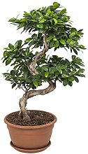 Bonsai von Botanicly – Bonsai – Höhe: 70 cm