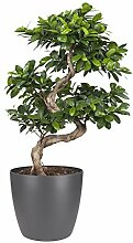 Bonsai von Botanicly - Bonsai in anthrazitfarbenem