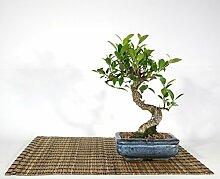 Bonsai von Ficus Retusa, Vase 15 cm.