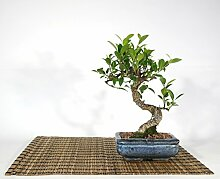 Bonsai von Ficus Retusa, Vase 15 cm.