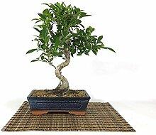 Bonsai von Ficus Retusa, Vase 25 cm.