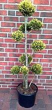 Bonsai Zypresse, Höhe: 130-140 cm, Chamaecyparis