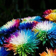Bornbayb 20 Stücke Regenbogen Chrysantheme