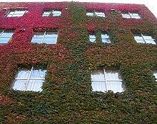 Boston Ivy Samen 100/lot 2016Hot Sale versandkostenfrei Fun Grün Rot Boston Ivy Samen Home Garten-Großhandel von versandkostenfrei