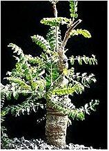Boswellia neglecta - Schwarzer Weihrauch - Dakkara