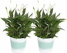 BOTANICLY | 2 × Blühpflanze – Einblatt mit