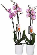 BOTANICLY | 2 × Orchidee Luxor mit weißem