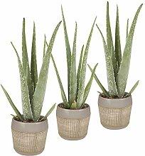 BOTANICLY | 3 × Zimmerpflanze - Aloe Vera |