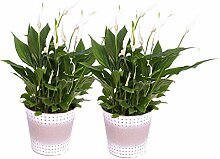 BOTANICLY | Blühpflanze | Spathiphyllum Pearl