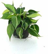 BOTANICLY   Kletterpflanze   Baumfreund in