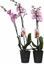 BOTANICLY | Orchidee | Phalaenopsis Luxor | 65 cm
